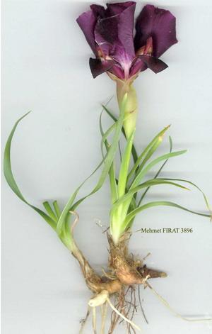 Aromaterapija - mirisne inspiracije Iris-r