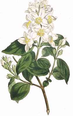 Aromaterapija - mirisne inspiracije Jasmin