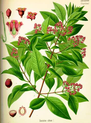 Aromaterapija - mirisne inspiracije Santal