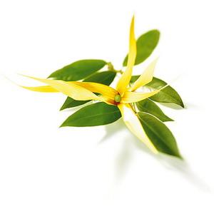 Aromaterapija - mirisne inspiracije Ylang_ylang